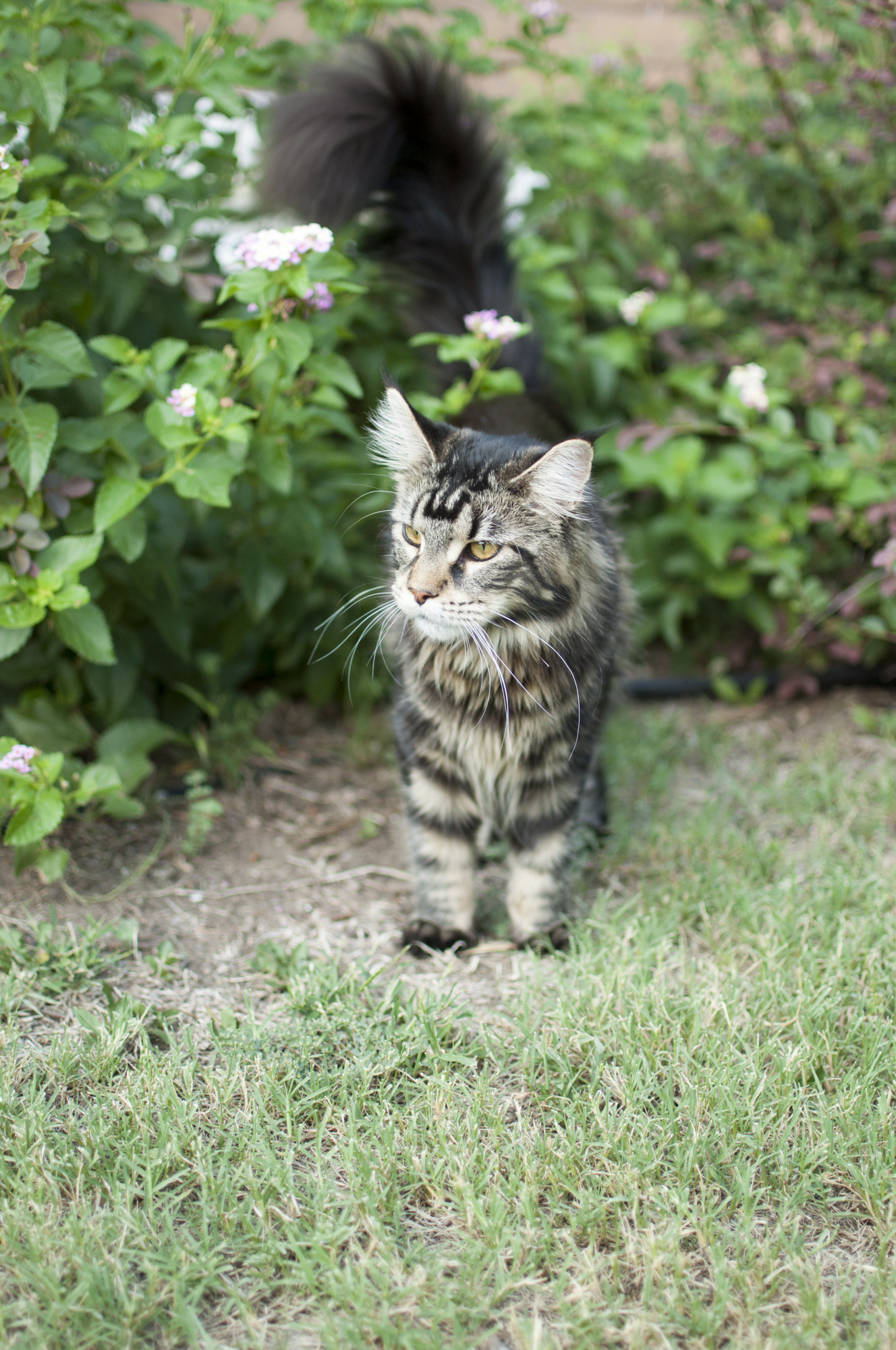 Relaxing Tigers Wild Dream – Majestic Maine Coons  Relaxing Tigers...